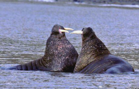 הניבתן (סוס הים)