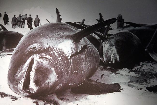 צייד לוויתנים